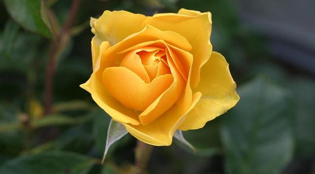 Eine schöne gelbe Rose