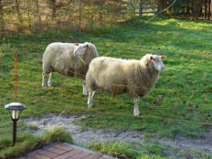 Schafe von Ostfrieslandkrimi Autorin Susanne Ptak