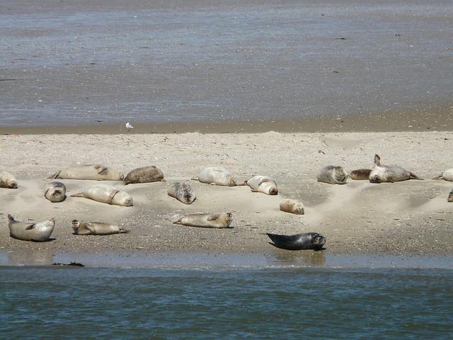 Baltrum Seehunde