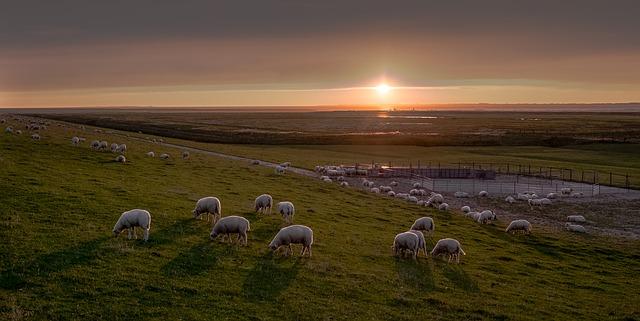 Schafe Ostfriesland