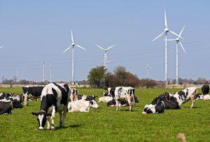 Ostfriesische Kühe aus dem Kreis Wittmund
