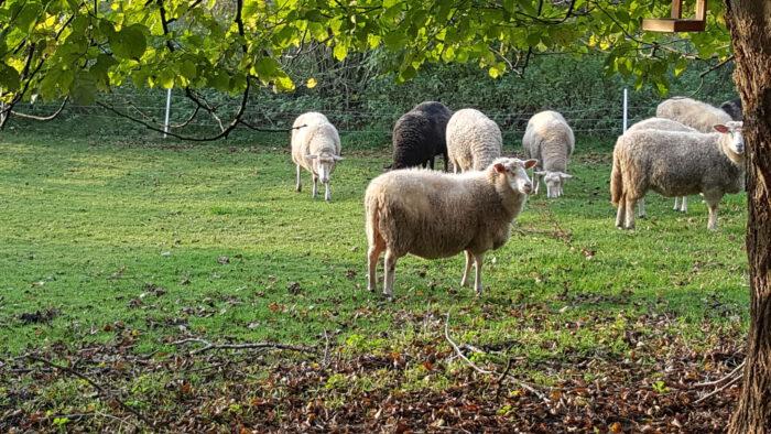 Schafsherde, Wiese, Bäume