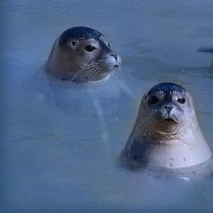 Seehunde Beitragsbild