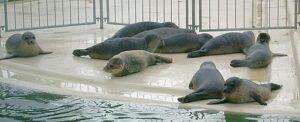 Seehunde Norddeich