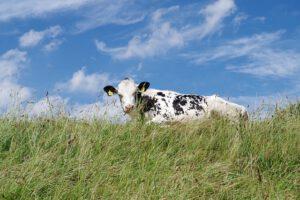 Neßmersiel Kuh